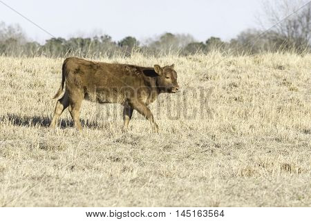 Brown calf walking to the right in a dormant bermuda grass pasture in February in Alabama