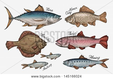 Seafood. Collection fish such as tuna, trout, carp, flounder, anchovy herring Vector illustration
