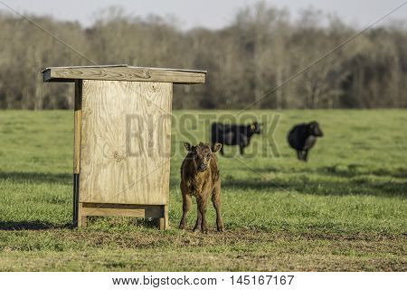 Brown calf next to a mineral feeder with black cows in the background