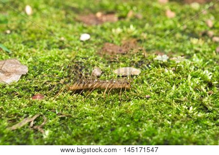 Italian house centipede with long legs (Scutigera coleoptrata) walking on green moss