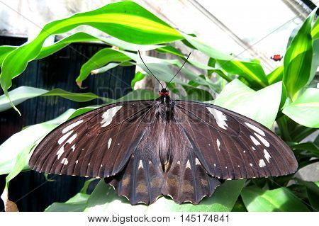 Close up of a brown and furry butterfly