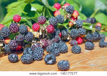 crop of black raspberry with a lot of ripe berries