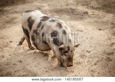 Pink and black speckled pot-bellied pig, outdoor shot