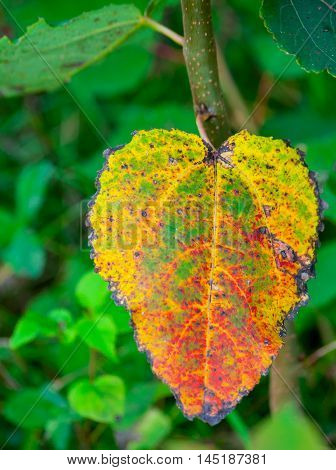 colorful autumn leaf in the forest, yellow, red, green, various shades, one large, aspen,