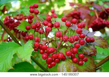Bunch of red berries (Viburnum opulus commonly known as guelder-rose) after the rain