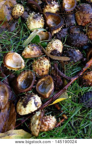 Open conker, lying on the green grass