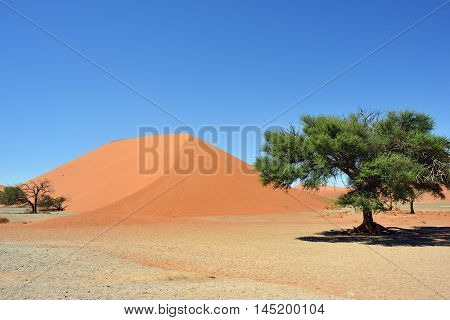 Dune 45 in Sossusvlei Namibia with green trees around. The most famous dune in the whole world