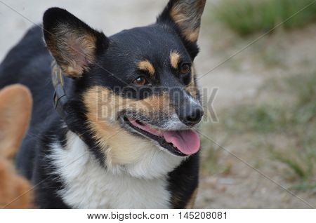 Black and tan Welsh corgi dog with his tongue out.