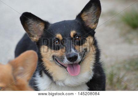 Fluffy black and tan Welsh corgi dog face.