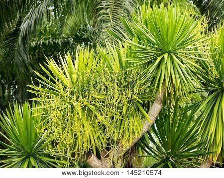 Dracaena lourieri or Dracaena cochinchinensis tree plant with flower in garden.