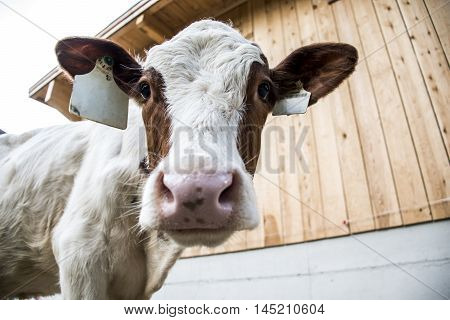Cow looking funny inside the Camera  in Austria