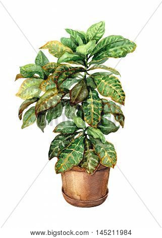 Hand drawn pot plant. Watercolor green croton in clay flowerpot isolated on white.
