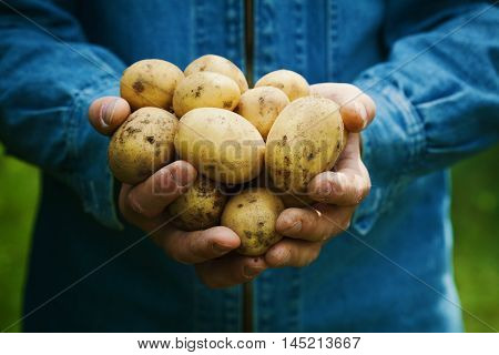 Farmer holding in hands the harvest of potatoes against green grass. Organic vegetables. Agriculture concept.