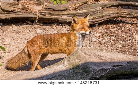 Nice Fox In The Wood Partly Hidden By Stone