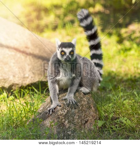 ring tailed lemur sitting on the rock
