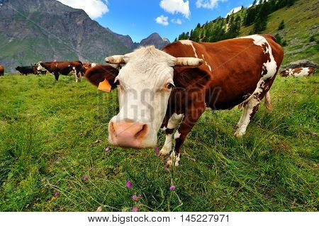 Funny cow on mountain meadow landscape background