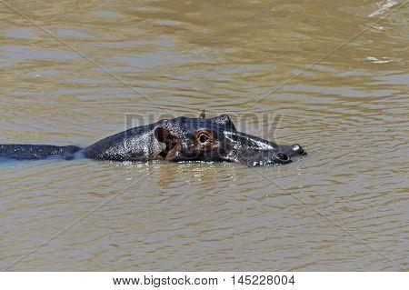 Hippo In The African Savannah