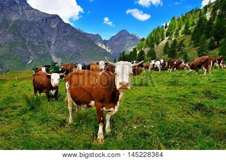 cows on alpine pasture with mountain views