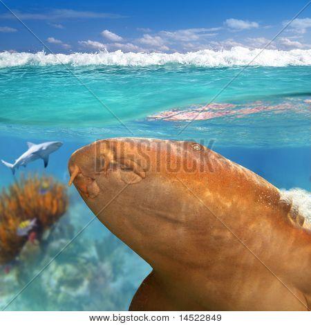 Enfermera tiburones Gata Nodriza Ginglymostoma Cirrhatum