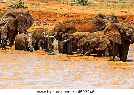 Herd Of Elephants In The Savannah