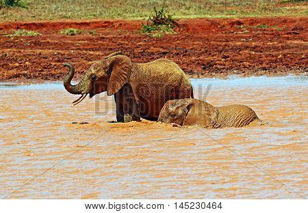 African Elephant In Kenya