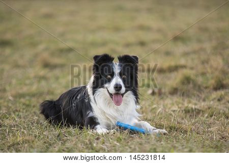 border collie sitting with a Frisbee in its paws