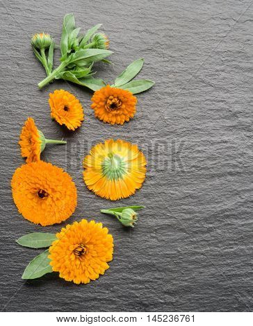 Calendula flowers on the gray background.
