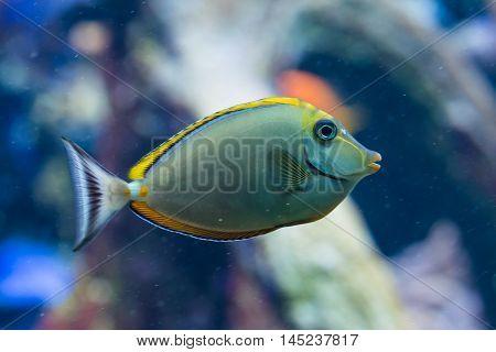 Naso Elegans - Elegant unicornfish - saltwater fish