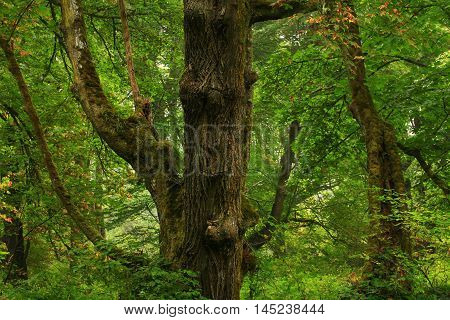 a picture of an exterior Pacific Northwest forest with old growth  Big leaf maple trees in summer