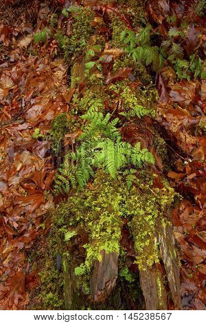 a picture of an exterior Pacific Northwest forest with a  decaying maple tree log and ferns