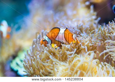 Amphiprion ocellaris - clownfish - saltwater fish