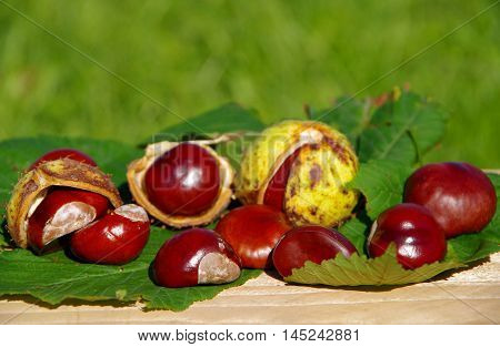 The fruits of nature in autumn conkers on wooden table