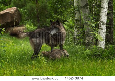 Grey Wolf (Canis lupus) Stands Over Pups - captive animals