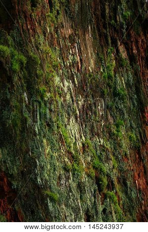a picture of an exterior Pacific Northwest old growth mossy Pacific Yew tree trunk