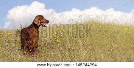 Banner of a cute Irish Setter as looking in the field
