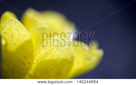 Yellow flower petals with water drops in spring