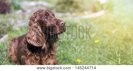 Banner of a cute Irish Setter as looking in the grass