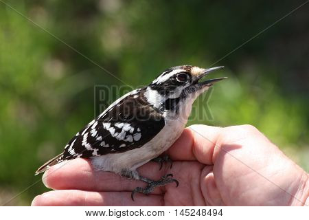 A female downy woodpecker sits on a woman's hand.