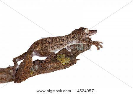 Giant leaf tailed gecko, Uroplatus giganteus, isolated on white background
