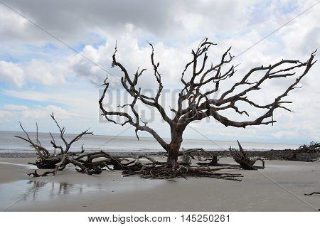 Upright driftwood on the beach of Jekyll Island, Georgia