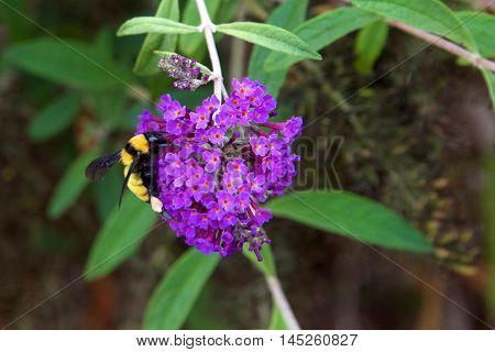 A bumblebee or bumble bee collecting pollen from purple cluster Buddleja davidii flowers or butterfly bush.