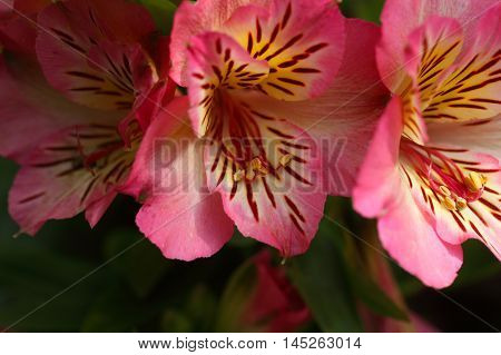 Flowers of a cultivation form of the Peruvian lily (Alstroemeria aurea)