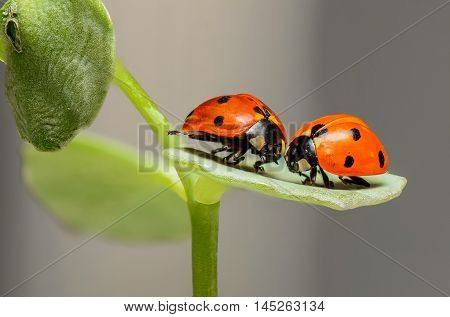 Two ladybugs in love on a leaf. Two beetles with red color and black dots. Macro photo.