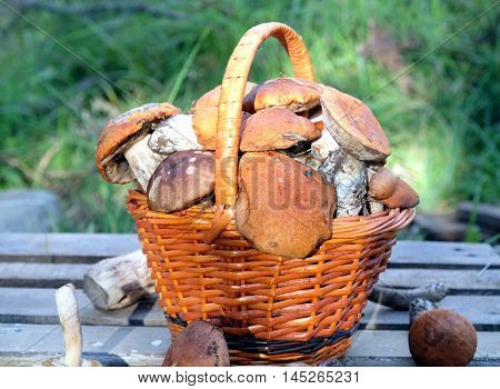 Still life with crop of many edible mushrooms in brown wicker basket on wooden table closeup wooden table. Front view outdoors vertical against green grass