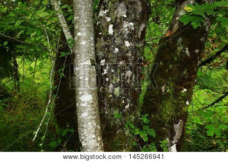 a picture of an exterior Pacific Northwest forest with a old growth Alder tree