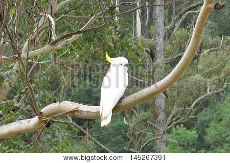 White cockatoo in a Eucalyptus tree in bush land