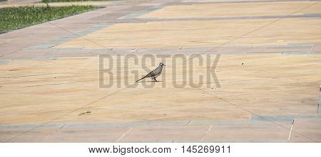 one dove on tile floor in Thailand.