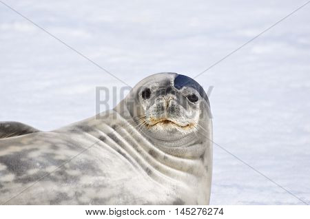 Weddell seal and snow background at Antarctica