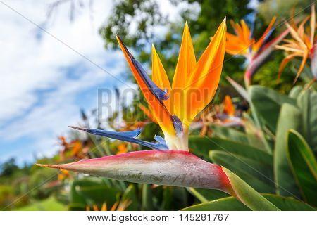 Bird of Paradise flower Strelitzia, close up