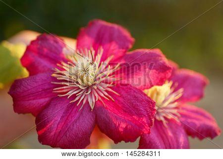 Clematis flower in garden